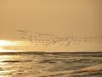 Flamingo : Siberia to Sewree